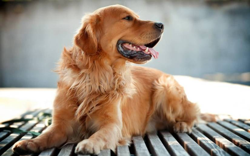 Most Beautiful Golden Retriever Dog With Beautiful Background