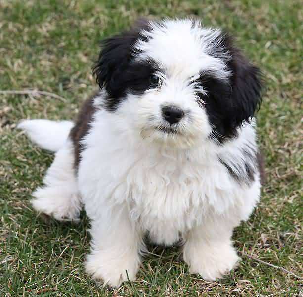 Most Beautiful Shih Tzu Dog In Park
