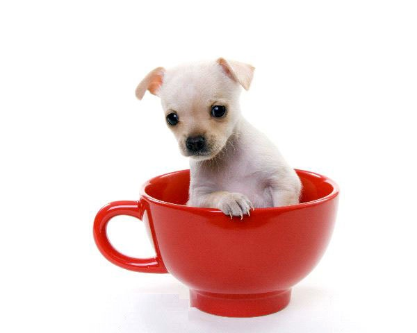 Most Beautiful White Chihuahua Dog In Red Teacup For Wallpaper