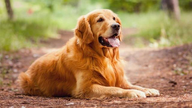 Most Cute Golden Retriever Sitting In Jungle