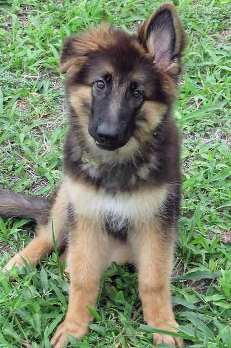 Nice German Shepherd Baby Pup Picture With Beautiful Background
