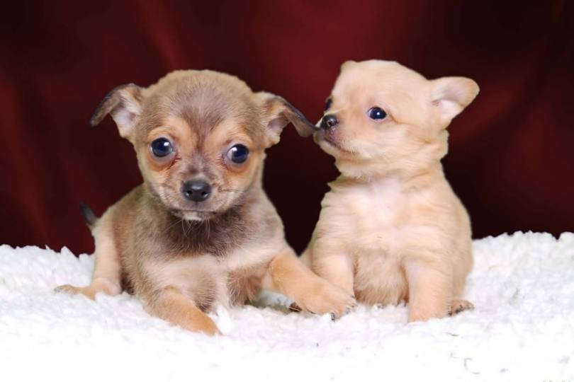 Nice Two Very Teacup Chihuahua Dog On Bed For Wallpaper