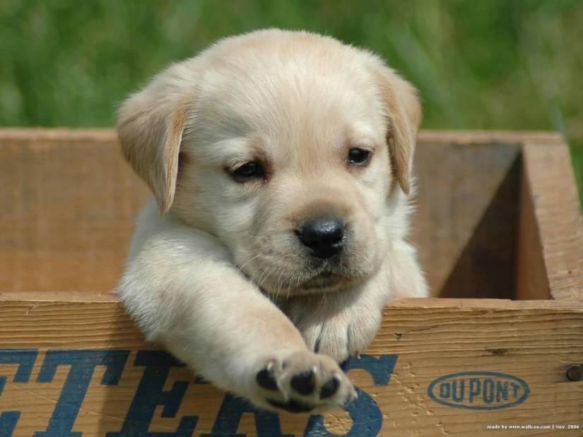 Nice White Labrador Retriever Pup With Beautiful Background