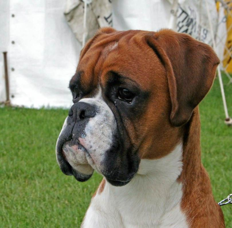 Out Standing Face Of Boxer Dog Sitting In Park