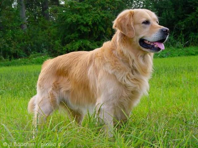 Out Standing Golden Retriever Dog On Grass With Beautiful Background