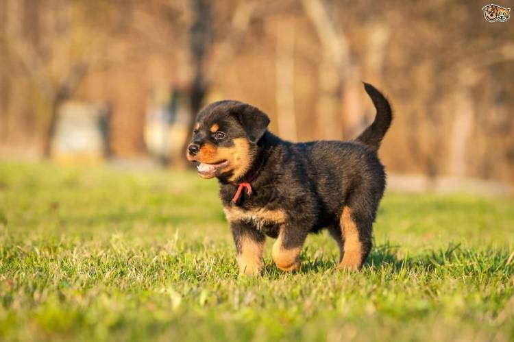 Out Standing Rottweiler Dog Baby In Park