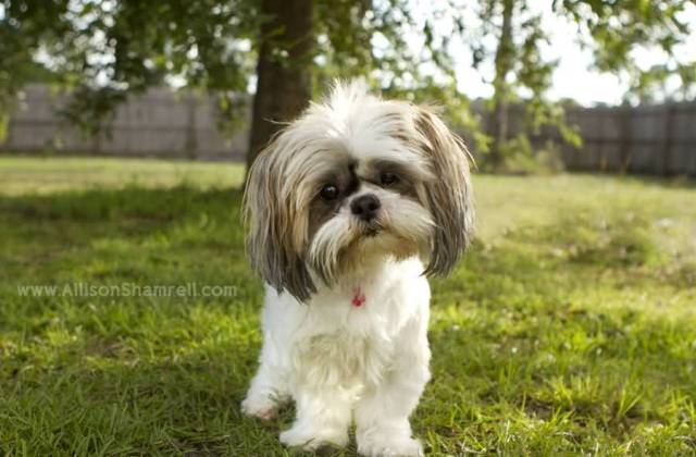 Out Standing Shih Tzu Dog Baby Standing On Green Grass