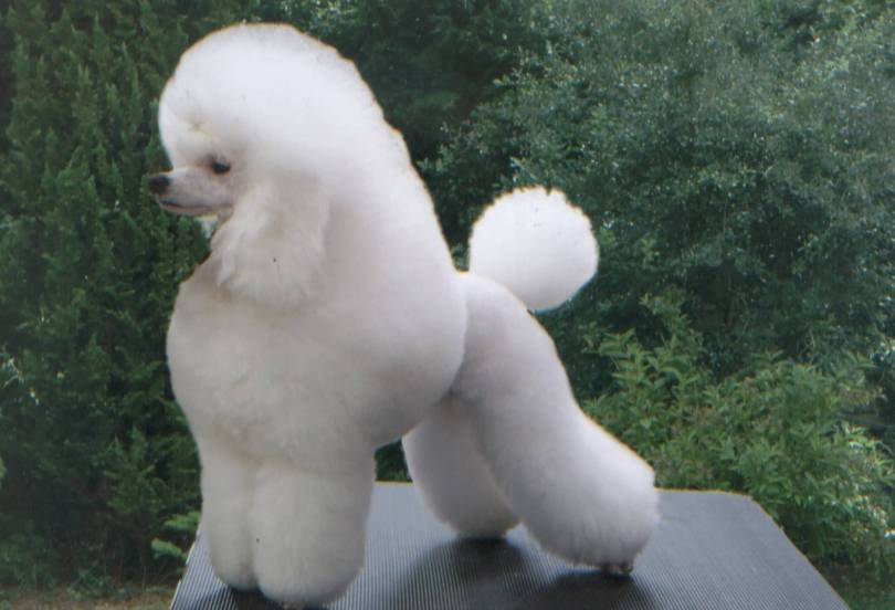 Perfect White Poodle Dog With Beautiful Background