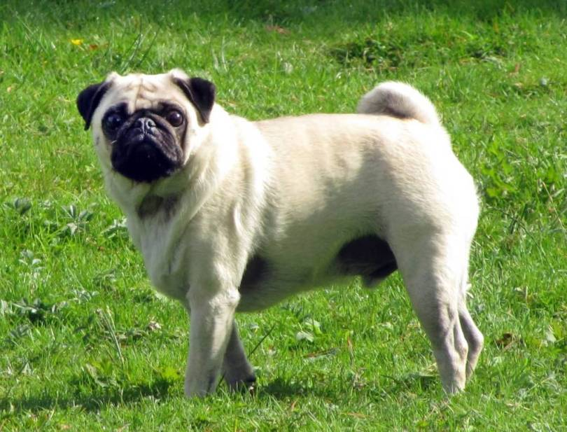Perfect White Pug Dog On Grass Looking At You