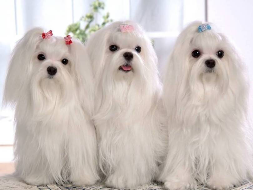 Perfect White Shih Tzu Dog Looking With Lovely Eye
