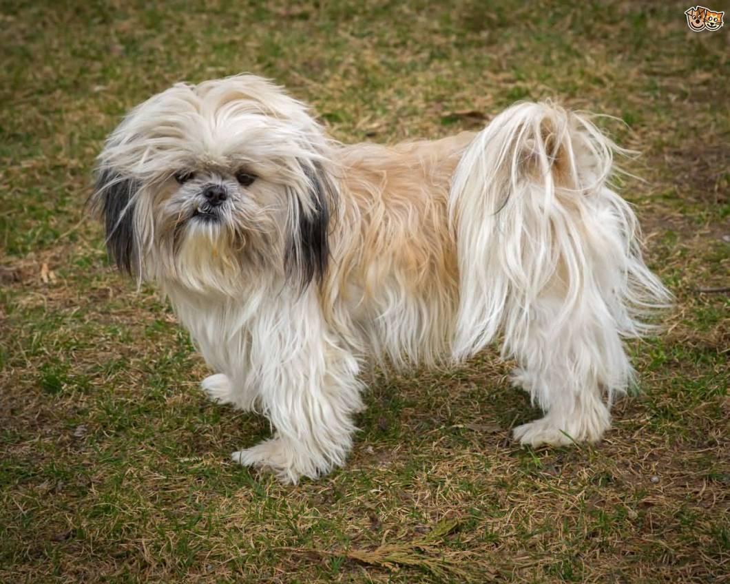 Perfect White Shih Tzu Dog Standing On Grass For Photo shot
