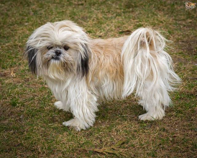 Perfect White Shih Tzu Dog Standing On Grass For Photo shot