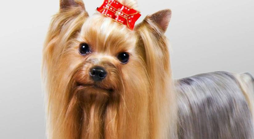 Perfect Yorkshire Terrier Dog Looking At You