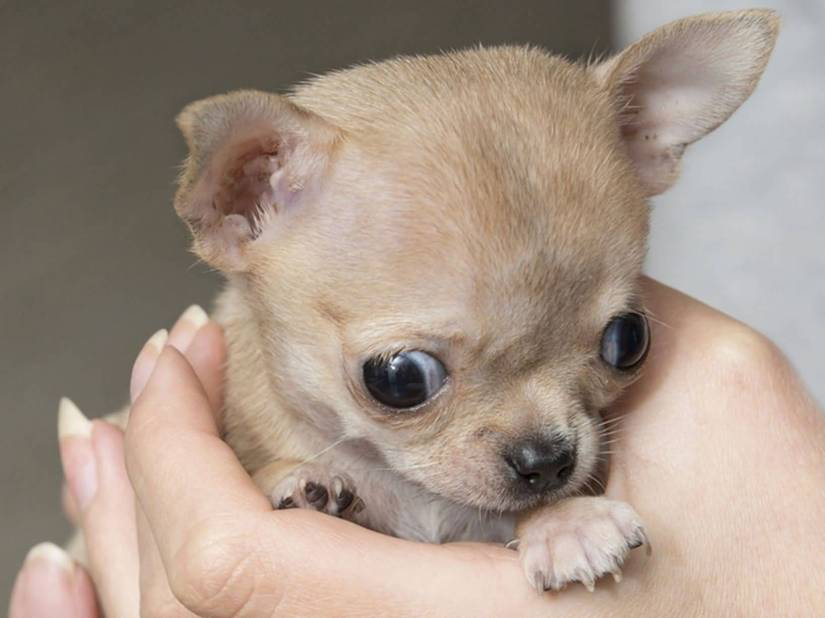 Superb Chihuahua Dog In Hands For Wallpaper
