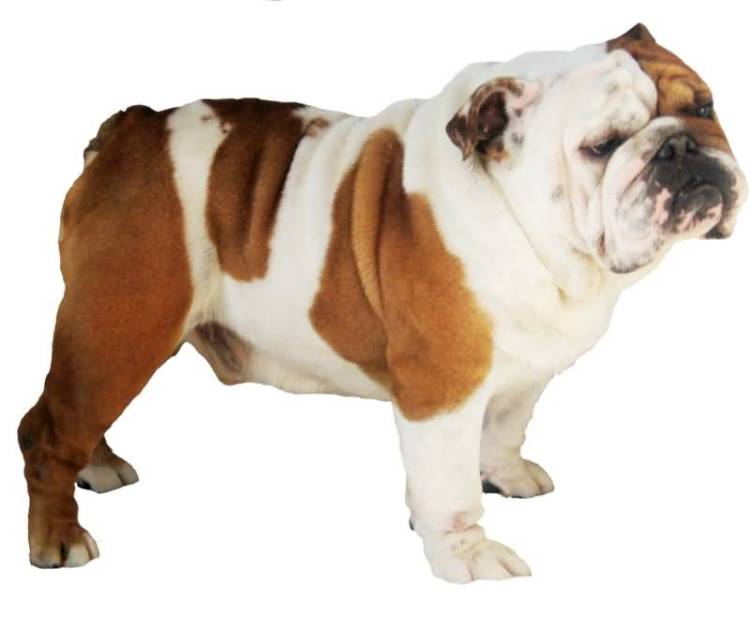 Superb Mix Bulldog Looks Very Lazy