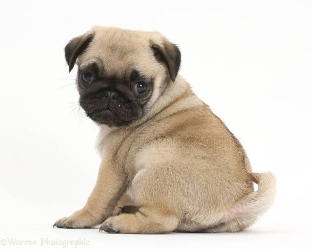 Superb Small Pug Dog Baby Wallpaper For Desktop