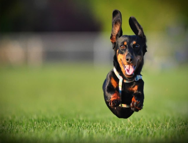 Sweet Black Dachshund Dog Running In Garden
