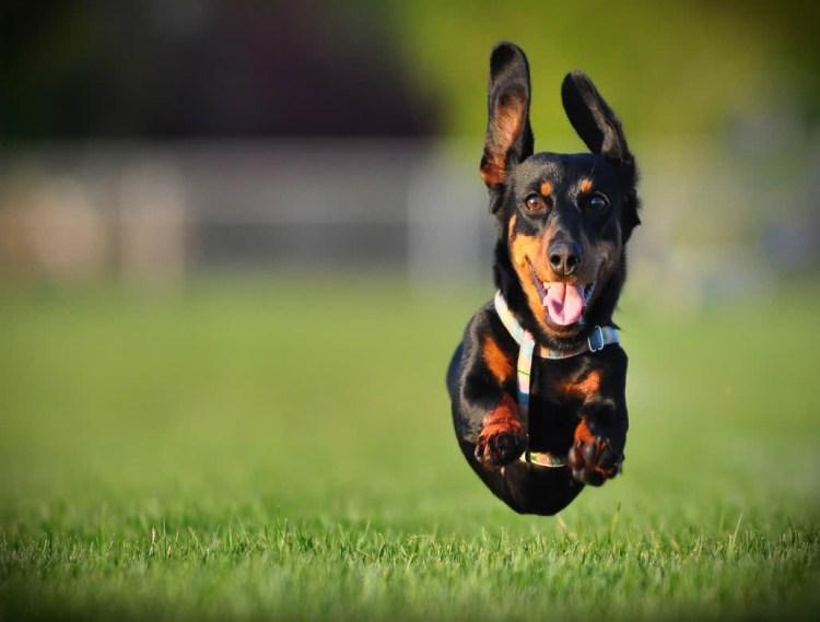 Sweet Black Dachshund Dog Running In Garden
