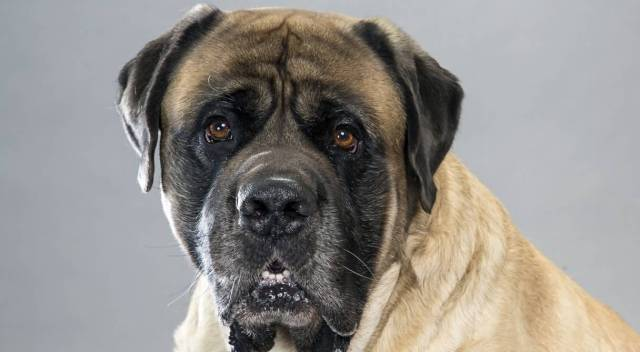 Sweet Black English Mastiff Dog Looking At You