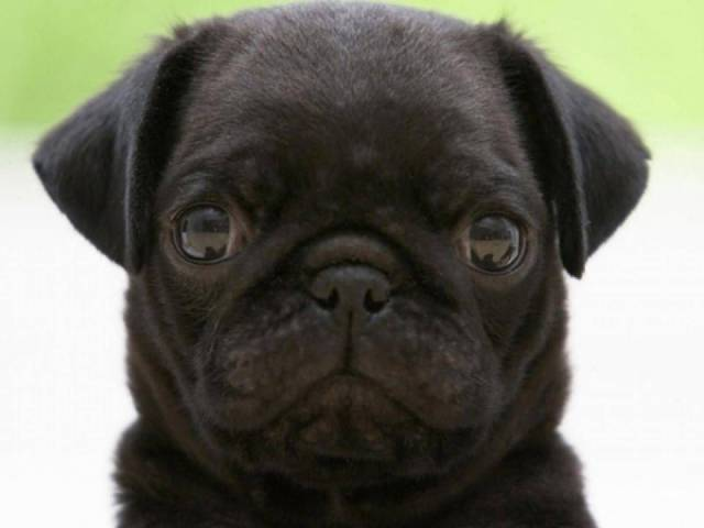 Sweet Black Pug Dog Looking At You