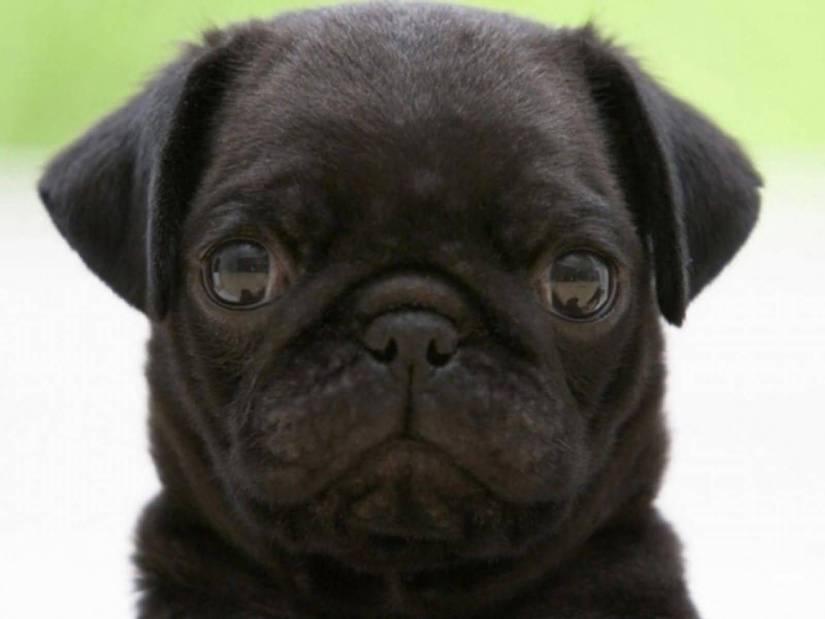 Sweet Black Pug Dog Looking At You