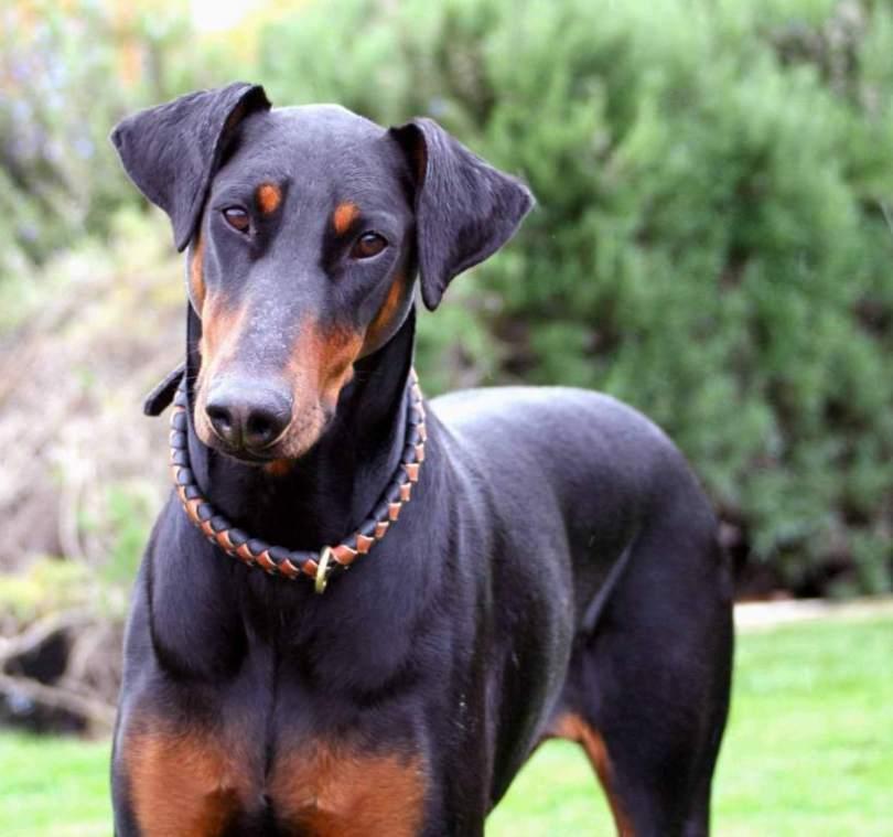 Sweet Doberman Pinscher Dog In Garden