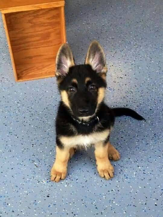 Sweet German Shepherd Dog Looking At You