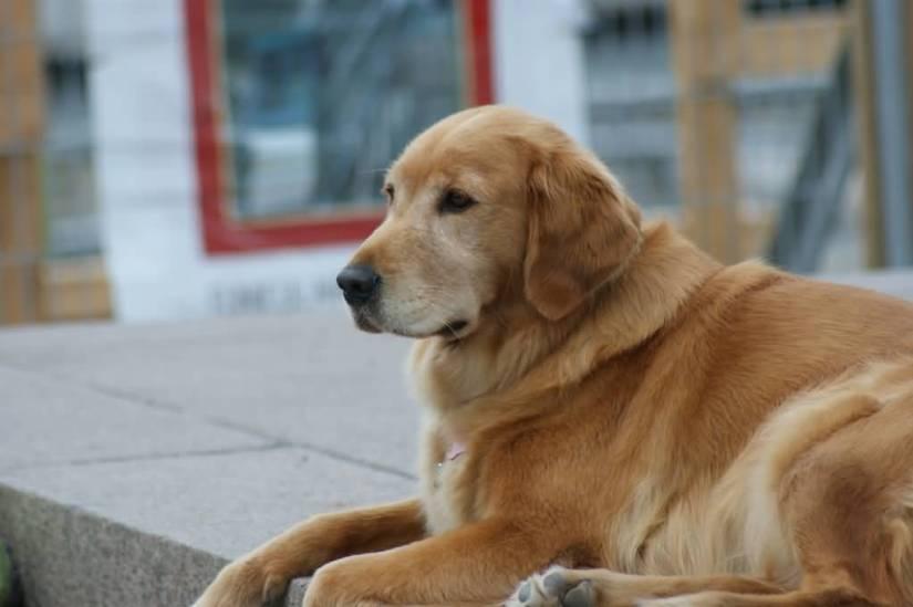 Sweet Golden Retriever Dog Sitting In Home
