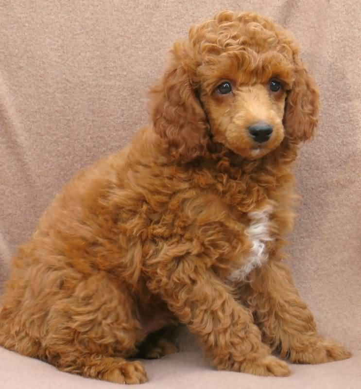 Sweet Toy Poodle Dog On Floor