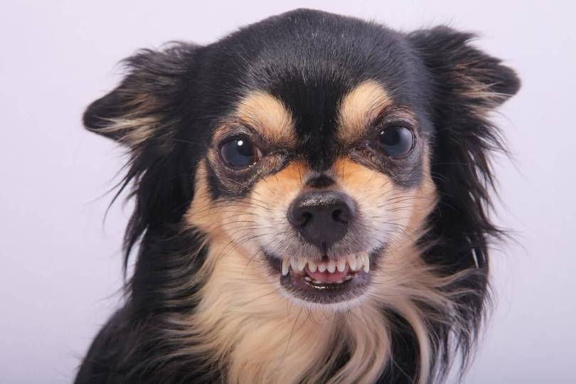 Ultimate Black Chihuahua Dog With Angry Mood
