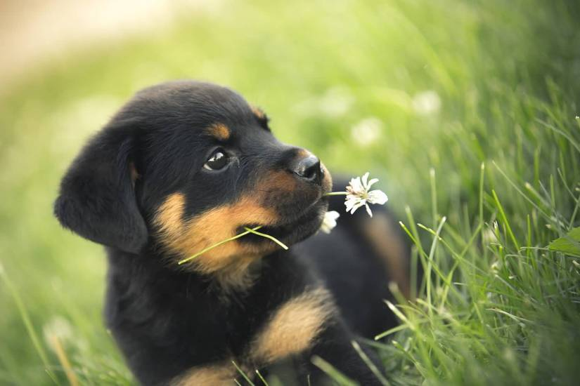 Ultimate Rottweiler Dog Pup Sitting On Grass