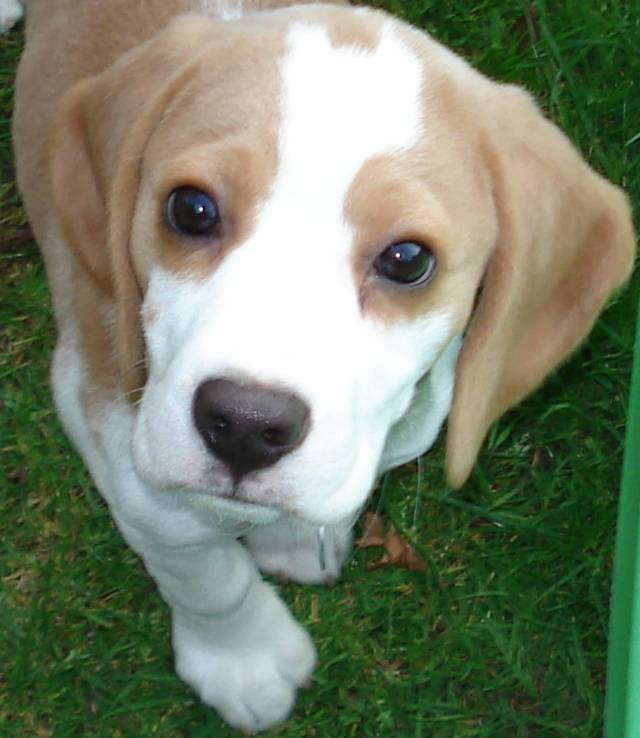 Unique Beagle Dog In The Garden