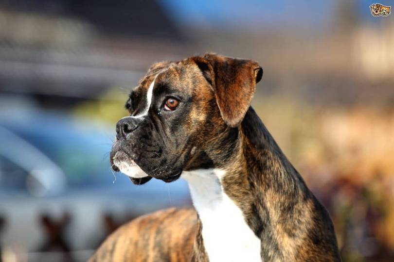 Unique Boxer Dog Looking At Thief With Beautiful Background