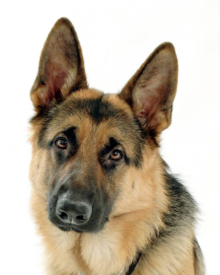 Unique German Shepherd Dog With White Background