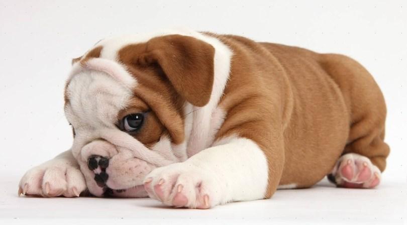 Unique Picture Of Brown And White Mix Bulldog