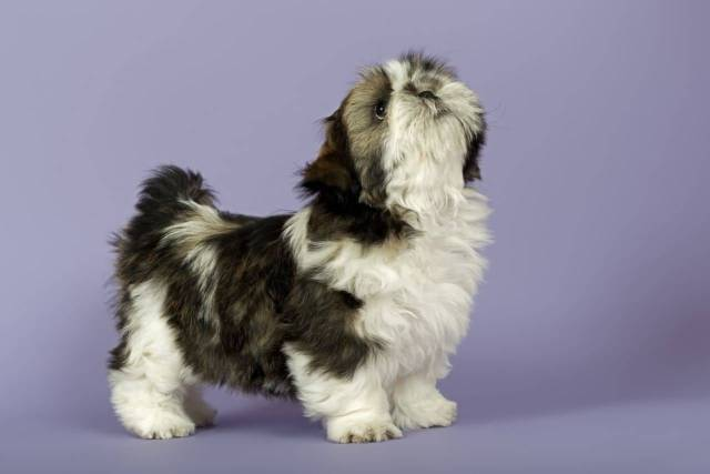 Unique Shih Tzu Dog Ready For Photo shot