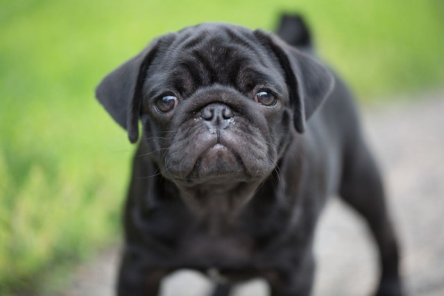Very Cute Black Pug Dog Face Pic With Beautiful Background