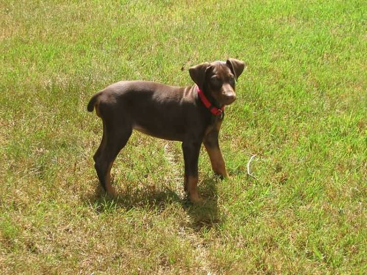 Very Cute Brown Doberman Pinscher Standing In Park
