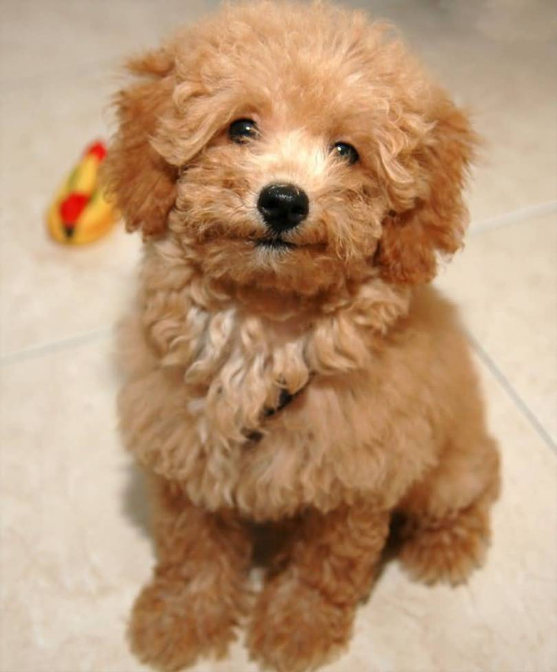 Very Cute Brown Poodle Dog Puppies Looking At You