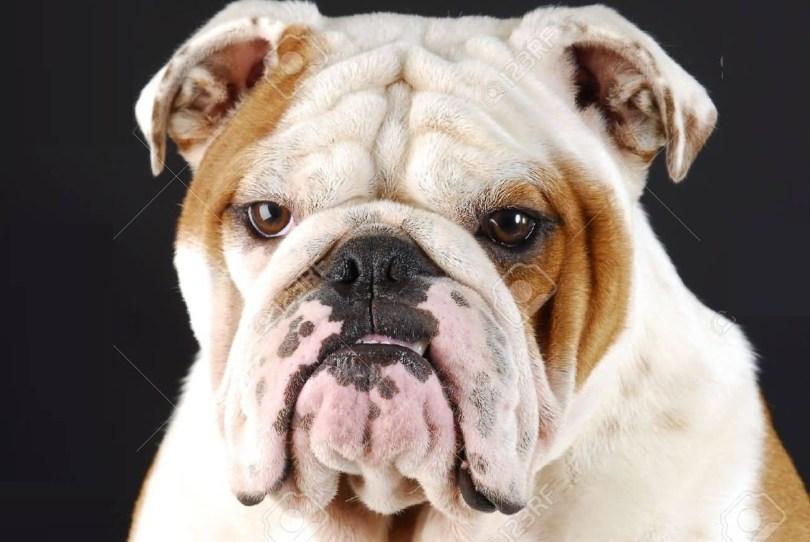 Very Cute White Bulldog Face Image For Desktop Bulldog Images