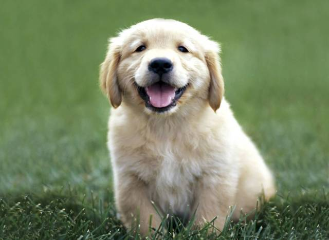 Very Nice Golden Retriever Baby Dog With Beautiful Background