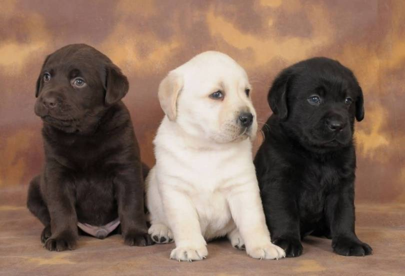 Very Nice Labrador Retriever Pups Dogs For Wallpaper