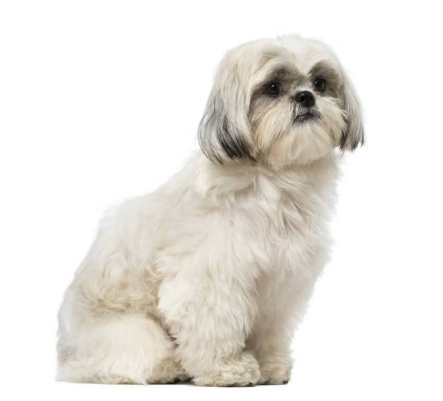 Very Nice White Shih Tzu Dog With White Background