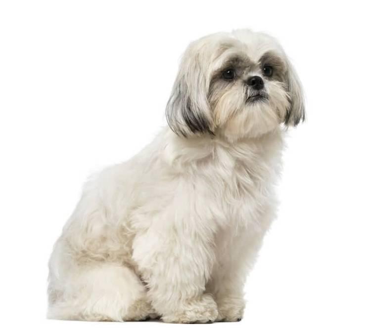 Very Nice White Shih Tzu Dog With White Background
