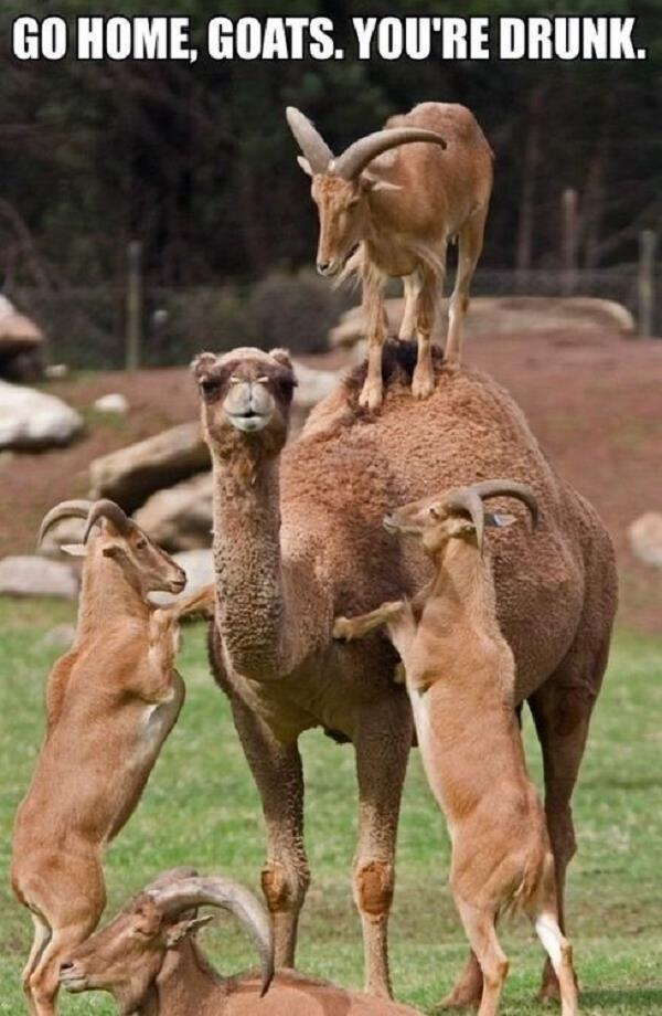 Camel Meme go home goats you re drunk