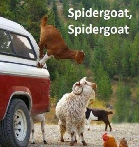 Goat Memes Spidergoat spidergoat