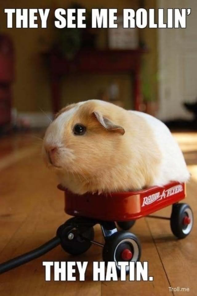Hamster Memes They see me rollin they hatin