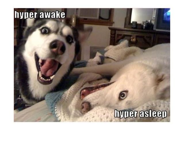 Hyper awake hyper asleep Dog Meme
