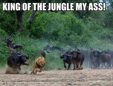 Lion Memes King of the jungle my ass