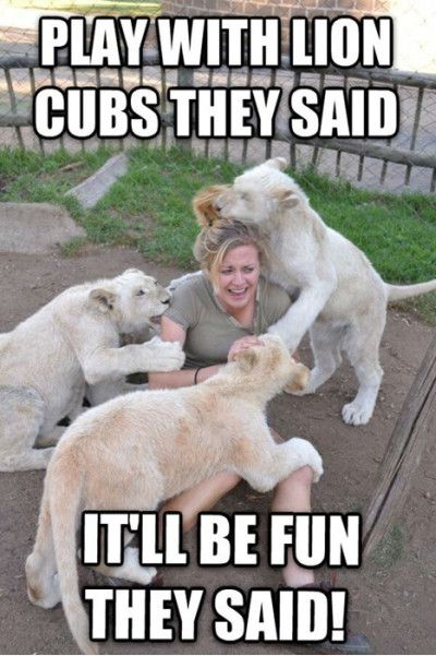 Lion Memes Play with lion cubs they said I'll be fun they said